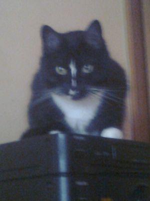 Oglądasz obrazki z tematu: Czarno biała puchata kotka zaginęła na  ul. Szarych Szeregów