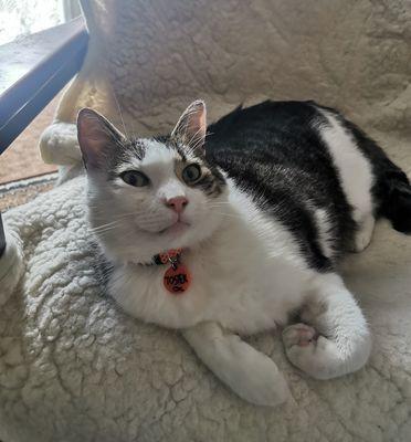 Oglądasz obrazki z tematu: Szaro biały kot znaleziony na os. TBS wrócił do domu