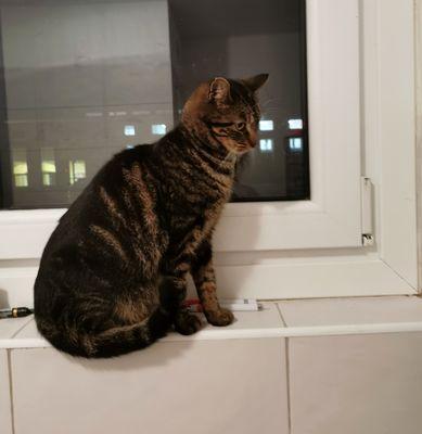 Oglądasz obrazki z tematu: Szara pręgowana kotka znaleziona na ul. Zwycięstwa