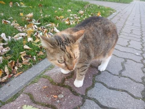 Oglądasz obrazki z tematu:  Kotka tricolor (szaro rudo biała) błąka się w okol. ul. Boboli