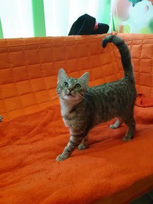 Oglądasz obrazki z tematu: Szara młoda koteczka błąkała się po ul. Gajowej