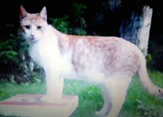 Oglądasz obrazki z tematu: Biało rudy kot zaginął na ul. Gdańskiej