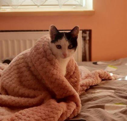 Oglądasz obrazki z tematu: Czarno biały kotek zaginął w Lewickich