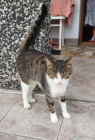 Oglądasz obrazki z tematu: Szaro biały kot z Nowego MIasta odnaleziony