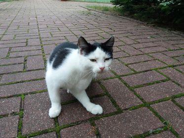 Oglądasz obrazki z tematu: Biało czarny kot błąka się w Milejczycach