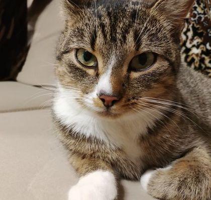 Oglądasz obrazki z tematu: Szaro biała kotka zaginęła w okolicy Olmont