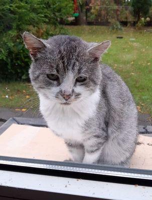 Oglądasz obrazki z tematu: Srebrno biały przemiły kotek przybłąkał się w Starosielcach