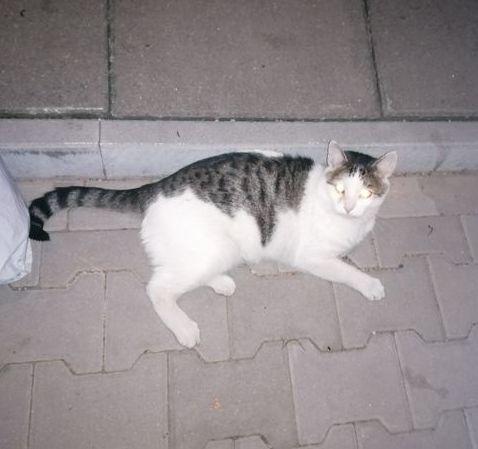 Oglądasz obrazki z tematu:  Biało szary kot błąka się po Starosielcach