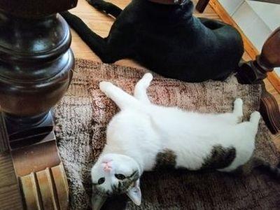 Oglądasz obrazki z tematu: Biało szara kotka zaginęła  w Supraślu