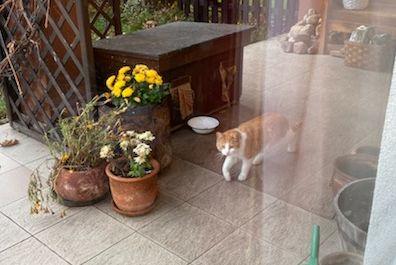 Oglądasz obrazki z tematu: Biało rudy kot/kotka błąka się przy ul. Podleśnej