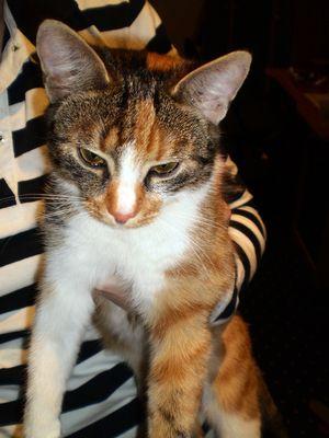 Oglądasz obrazki z tematu: Młoda kotka tricolor znaleziona przy ul. Złotej