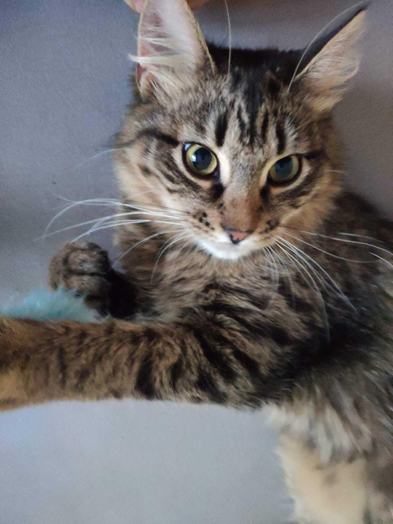 Oglądasz obrazki z tematu: Szary puchaty kotek znaleziony na ul. Antoniuk Fabryczny wrócil do domu :)