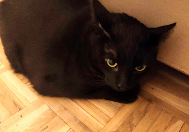 Oglądasz obrazki z tematu:  Ogromny czarny kot został znaleziony na Dziesięcinach