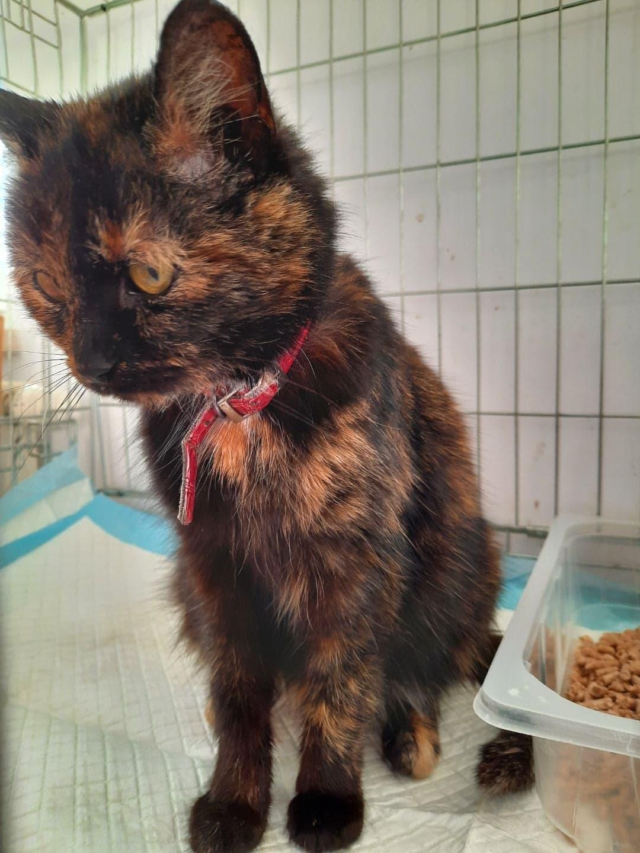 Oglądasz obrazki z tematu: Kotka szylkretka w obroży błaka się na ul. Królowej Rodzin