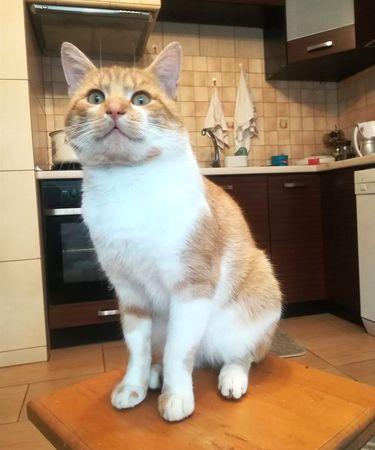 Oglądasz obrazki z tematu: Rudo biały kot zaginął w Ogrodniczkach