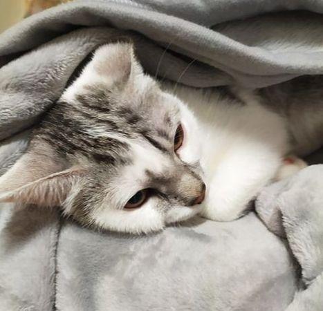 Oglądasz obrazki z tematu: Biało srebrny kot/kotka w czerwonej obroży z  Wróblej wróciła do domu :)