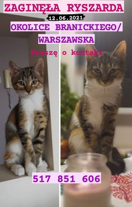 Oglądasz obrazki z tematu:  Szaro biała koteczka z  ul. Branickiego/Warszawskiej odnaleziona
