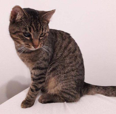 Oglądasz obrazki z tematu: Szary kot z zamglonym prawym okiem zaginął w ok. Celowniczej