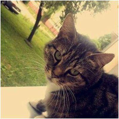 Oglądasz obrazki z tematu: Szara kotka z bialymi łapkami zaginęła na Wołodyjowskiego