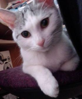 Oglądasz obrazki z tematu: Biało srebrna kotka zaginęła na ul. Magnoliowej